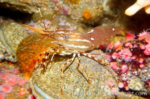 Image 14952, Spot prawn., Pandalus platycaros, Phillip Colla, all rights reserved worldwide. Keywords: animal, creature, crustacean, invertebrate, marine invertebrate, nature, ocean, pandalus platycaros, shrimp prawn, spot prawn, underwater, wildlife.