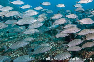 Spottail grunt fish schooling, Isla San Francisquito, Sea of Cortez