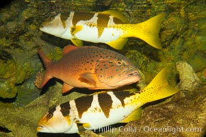 Spotted coralgrouper (center) and two saddleback coralgrouper (top, bottom), Plectropomus maculatus, Plectropomus laevis
