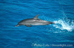 Atlantic spotted dolphin. Bahamas, Stenella frontalis, natural history stock photograph, photo id 00680