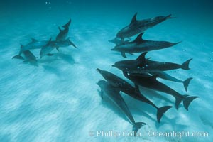 Atlantic spotted dolphin. Bahamas, Stenella frontalis, natural history stock photograph, photo id 00006