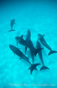 Atlantic spotted dolphin, Stenella frontalis