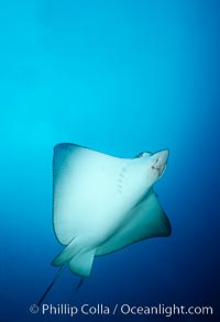 Spotted eagle ray, Aetobatus narinari