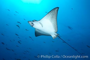 Spotted eagle ray. Wolf Island, Galapagos Islands, Ecuador, Aetobatus narinari, natural history stock photograph, photo id 16329
