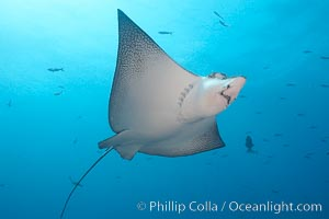 Spotted eagle ray. Wolf Island, Galapagos Islands, Ecuador, Aetobatus narinari, natural history stock photograph, photo id 16332