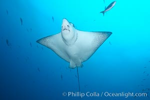 Spotted eagle ray. Wolf Island, Galapagos Islands, Ecuador, Aetobatus narinari, natural history stock photograph, photo id 16334