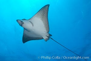 Spotted eagle ray. Wolf Island, Galapagos Islands, Ecuador, Aetobatus narinari, natural history stock photograph, photo id 16340