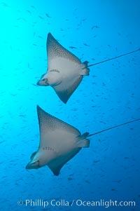 Spotted eagle rays, Aetobatus narinari, Wolf Island