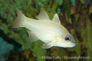 Spotted-gill cardinalfish, Apogon chrysopomus