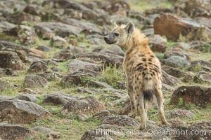 Spotted hyena, Maasai Mara National Reserve, Kenya, Crocuta crocuta