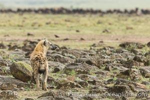 Spotted hyena surveying wildebeest herd, Maasai Mara National Reserve, Kenya., Crocuta crocuta, natural history stock photograph, photo id 29858