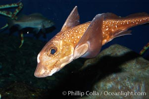 Spotted ratfish., Hydrolagus colliei, natural history stock photograph, photo id 08904