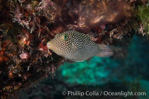 Spotted sharpnose puffer fish, Sea of Cortez, Baja California, Mexico, Canthigaster punctatissima. Isla San Diego, natural history stock photograph, photo id 33546