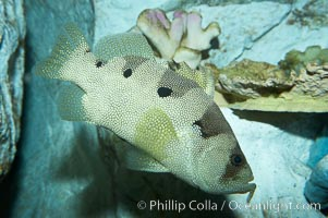 Spotted soapfish., Pogonoperca punctata, natural history stock photograph, photo id 11840