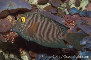 Image 07826, Kole tang (aka, goldring surgeonfish)., Ctenochaetus strigosus, Phillip Colla, all rights reserved worldwide.   Keywords: animal:ctenochaetus strigosus:fish:goldring bristletooth:goldring surgeonfish:indo-pacific:kole tang:marine fish:spotted surgeonfish:tang:underwater:yelloweye bristletooth:yelloweye surgeonfish.