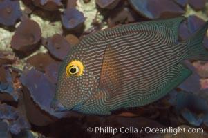 Kole tang (aka, goldring surgeonfish), Ctenochaetus strigosus