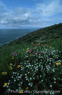 Spring Wildflowers, Torrey Pines State Park, Torrey Pines State Reserve, San Diego, California