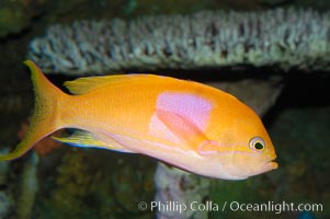 Square-spot fairy basslet, male coloration., Pseudanthias pleurotaenia, natural history stock photograph, photo id 08855
