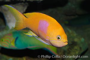 Square-spot fairy basslet, male coloration., Pseudanthias pleurotaenia, natural history stock photograph, photo id 08859