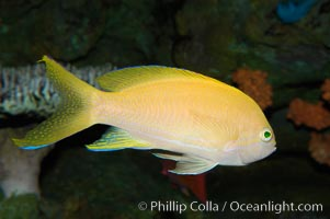 Square-spot fairy basslet, female coloration, Pseudanthias pleurotaenia