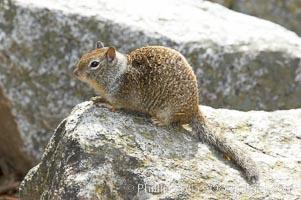 Squirrel, Yosemite Valley. Yosemite National Park, California, USA, natural history stock photograph, photo id 12663