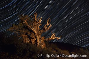 Image 27796, Stars trails above ancient bristlecone pine trees, in the White Mountains at an elevation of 10,000' above sea level.  These are some of the oldest trees in the world, reaching 4000 years in age. Ancient Bristlecone Pine Forest, White Mountains, Inyo National Forest, California, USA, Pinus longaeva, Phillip Colla, all rights reserved worldwide.   Keywords: ancient:ancient bristlecone:ancient bristlecone pine forest:ancient bristlecone pine tree:bristlecone:bristlecone pine:bristlecone pine tree:california:dolomite:environment:forest:gnarled:great basin bristlecone pine:grove:growth:inyo national forest:lifespan:longevity:methuselah trail:methuselah walk:morning:mountain:national forests:nature:old:old growth:outdoors:outside:pine:pine tree:pinus longaeva:plant:rock:schulman grove:soil:summer:sunrise:terrestrial plant:time:tree:twisted:usa:western bristlecone pine:white mountains:white mountains inyo national forest:night:evening:stars:star trail.