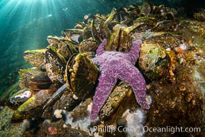 Starfish cling to a rocky reef, surrounded by other colorful invertebrate life. Browning Pass, Vancouver Island. British Columbia, Canada, natural history stock photograph, photo id 35441