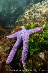 Starfish cling to a rocky reef, surrounded by other colorful invertebrate life. Browning Pass, Vancouver Island