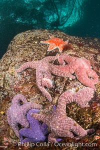 Colorful starfish cling to submarine rocks, on the subtidal reef, Browning Pass, Vancouver Island. British Columbia, Canada, natural history stock photograph, photo id 34336