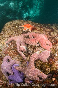Colorful starfish cling to submarine rocks, on the subtidal reef, Browning Pass, Vancouver Island