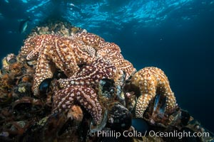 Starfish on Oil Rig Ellen underwater structure, covered in invertebrate life, Long Beach, California