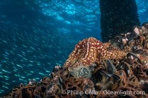 Starfish on Oil Rig Elly underwater beams, Long Beach, California