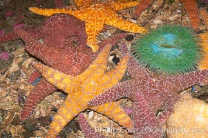 Starfish, seastars and anemones cover the rocks in a intertidal tidepool, Puget Sound, Washington