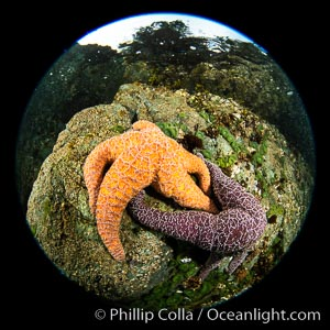 Colorful starfish (sea stars) cling to the reef, covered with invertebrate life. Browning Pass, Vancouver Island