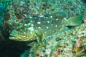 Starry grouper, Sea of Cortez, Baja California, Mexico, Epinephelus labriformis