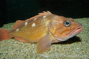 Starry rockfish, Sebastes constellatus