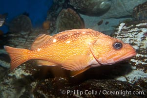 Starry rockfish., Sebastes constellatus, natural history stock photograph, photo id 11843