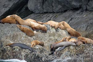 Steller sea lions (Northern sea lions) gather on rocks.  Steller sea lions are the largest members of the Otariid (eared seal) family.  Males can weigh up to 2400 lb., females up to 770 lb. Chiswell Islands, Kenai Fjords National Park, Alaska, USA, Eumetopias jubatus, natural history stock photograph, photo id 16978