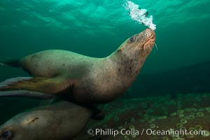 Steller sea lion underwater bubble display, Norris Rocks, Hornby Island, British Columbia, Canada, Eumetopias jubatus