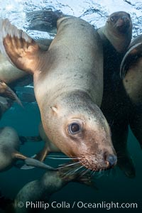 Steller sea lion underwater, Norris Rocks, Hornby Island, British Columbia, Canada., Eumetopias jubatus, natural history stock photograph, photo id 36072