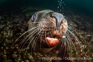 Steller sea lions underwater, showing whiskers and nose, Norris Rocks, Hornby Island, British Columbia, Canada, Eumetopias jubatus