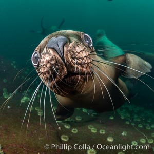 Steller sea lions underwater, showing whiskers and nose, Norris Rocks, Hornby Island, British Columbia, Canada., Eumetopias jubatus, natural history stock photograph, photo id 36108