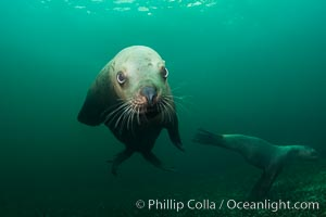 Steller sea lion underwater, Norris Rocks, Hornby Island, British Columbia, Canada. Hornby Island, British Columbia, Canada, Eumetopias jubatus, natural history stock photograph, photo id 32686
