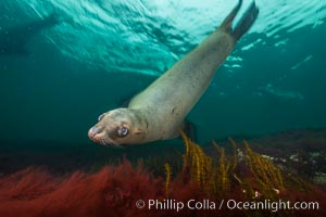 Steller sea lion underwater, Norris Rocks, Hornby Island, British Columbia, Canada. Hornby Island, British Columbia, Canada, Eumetopias jubatus, natural history stock photograph, photo id 32693