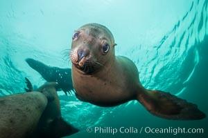 Image 32700, Steller sea lion underwater, Norris Rocks, Hornby Island, British Columbia, Canada. Hornby Island, British Columbia, Canada, Eumetopias jubatus