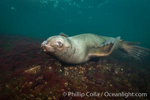 Steller sea lion underwater, Norris Rocks, Hornby Island, British Columbia, Canada. Hornby Island, British Columbia, Canada, Eumetopias jubatus, natural history stock photograph, photo id 32709