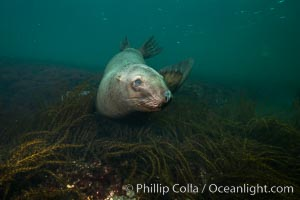 Steller sea lion underwater, Norris Rocks, Hornby Island, British Columbia, Canada. Hornby Island, British Columbia, Canada, Eumetopias jubatus, natural history stock photograph, photo id 32710