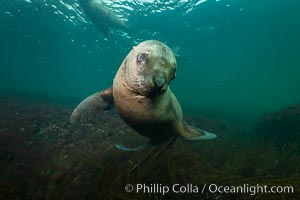 Steller sea lion underwater, Norris Rocks, Hornby Island, British Columbia, Canada. Hornby Island, British Columbia, Canada, Eumetopias jubatus, natural history stock photograph, photo id 32712