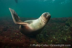 Steller sea lion underwater, Norris Rocks, Hornby Island, British Columbia, Canada. Hornby Island, British Columbia, Canada, Eumetopias jubatus, natural history stock photograph, photo id 32715