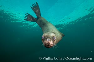 Steller sea lion underwater, Norris Rocks, Hornby Island, British Columbia, Canada. Hornby Island, British Columbia, Canada, Eumetopias jubatus, natural history stock photograph, photo id 32716